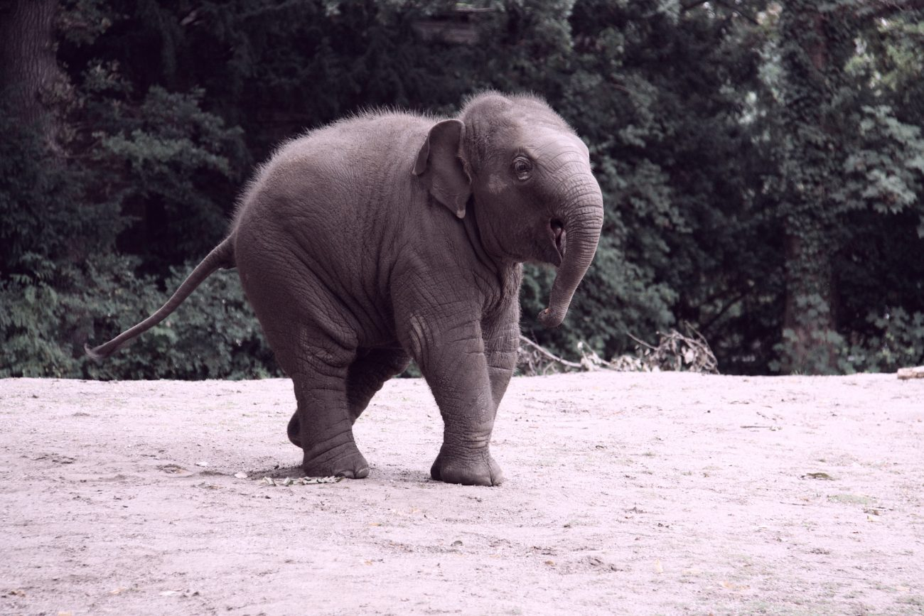 elephant-laos